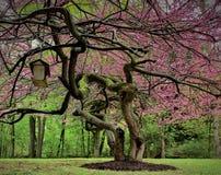 Judasträd från ner under Arkivbilder