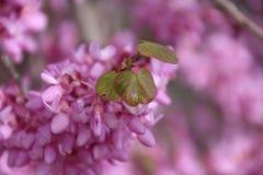 Judaszowego drzewa Cercis siliquastrum w pełnym kwiacie fotografia stock
