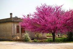 Judaszowy drzewo w kwiatu wieśniaka krajobrazu Włochy wiośnie obrazy stock