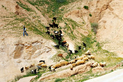 The Judean Desert - Israel. JERUSAELM, ISR - MAR 18:Bedouin shepherd with a flock of sheep on March 18 2010.In the 1950s and 1960s, the Jahalin tribe settled in Stock Photo