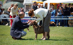 Judge checking the dog's bite at dogshow. FCI judge checking the dog's bite at dogshow Royalty Free Stock Photos