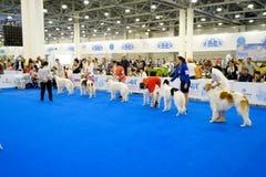 Judge examining dog on the World Dog Show Royalty Free Stock Photography