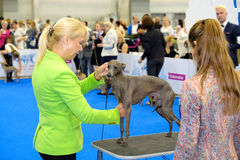 Judge examining dog on the World Dog Show Royalty Free Stock Image