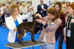 Judge examining dog on the World Dog Show Royalty Free Stock Image