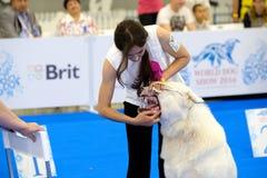 Judge examining dog on the World Dog Show Stock Photo