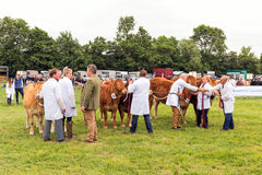 Judging the Cattle. Royalty Free Stock Image