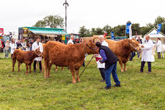 Judging Cattle at the Hanbury Countryside Show. A judge appraising cattle at the annual Hanbury Countryside Show in Worcestershire, England Royalty Free Stock Photo