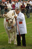 Judging Charolais bulls at the Royal Welsh Show Royalty Free Stock Photography