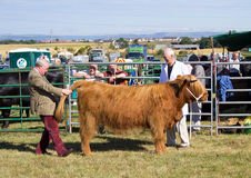Judging the highland cow Stock Photo