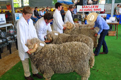Judging Rams at the 2012 Canterbury A&P Show Stock Image