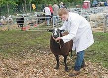 Judging sheep. Stock Image