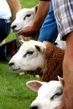 Judging sheep Royalty Free Stock Photos