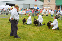 Judging Torfaen sheep at the Royal Welsh Show Stock Photos