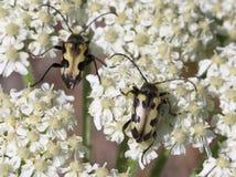 Judolia Instabilis Flower Beetles Royalty Free Stock Photos