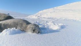 Juego antártico del sello del weddell del bebé con nieve almacen de metraje de vídeo