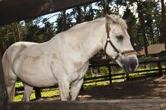 Juego blanco del caballo para la cerca Fotografía de archivo libre de regalías