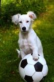 Juego blanco del perro de perrito de Dalmatin con la bola del fútbol del fútbol Fotos de archivo