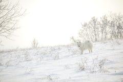 Juego blanco del samoyedo del perro en nieve Fotografía de archivo