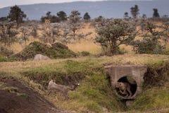 Juego de Cubs en el tubo guardado por el guepardo fotos de archivo