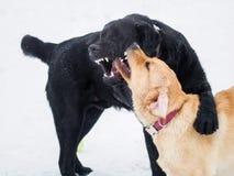 Juego de dos perritos del labrador retriever en la nieve Muestre el perro de los dientes Foto de archivo