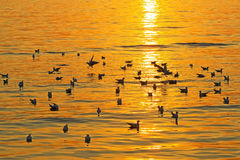 Juego de la gaviota con puesta del sol Foto de archivo libre de regalías