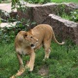 Juego de la leona con un registro Fotografía de archivo