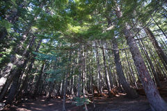 Juego de la luz y de la sombra en bosque viejo del pino Fotografía de archivo libre de regalías