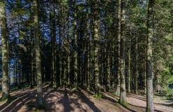Juego de la sombra en bosque de pino fotos de archivo libres de regalías