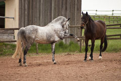 Juego de los caballos en prado lucha y comportamiento natural Fotografía de archivo libre de regalías