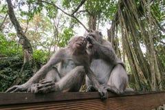 Juego de los monos con uno a Fotografía de archivo