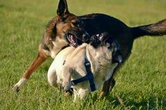Juego de los perros con uno a Barro-perro joven Felices perritos de la queja Perro agresivo Entrenamiento de perros Educación de  foto de archivo libre de regalías