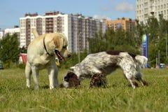 Juego de los perros con uno a Felices perritos de la queja Educación joven del perro, cynology, entrenamiento intensivo de perros imagen de archivo