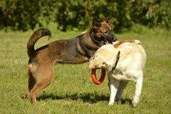 Juego de los perros con uno a Labrador Felices perritos de la queja Perro agresivo Entrenamiento de perros Educación de los perri fotos de archivo