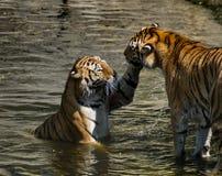 Juego de los tigres Fotos de archivo