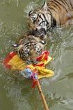Juego de los tigres en agua Fotos de archivo libres de regalías