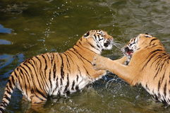 Juego de los tigres en el agua Fotografía de archivo libre de regalías