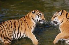 Juego de los tigres en el agua Fotografía de archivo