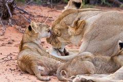 Juego del cachorro de león con la madre en la arena foto de archivo