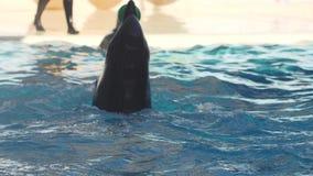 Juego del delfín con la bola en el vídeo de la cámara lenta de la piscina metrajes