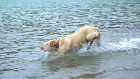 Juego del perrito de Labrador en el lago de la montaña Funcionamiento en el agua C?mara lenta El perro del labrador retriever de  almacen de metraje de vídeo