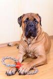 Juego del perro con el juguete Imagen de archivo
