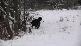 Juego del perro de montaña de Bernese cerca del río en bosque almacen de metraje de vídeo