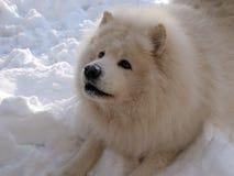 Juego del perro del samoyedo en la nieve Imagen de archivo libre de regalías