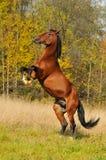 Juego del semental del caballo de bahía en hierba en otoño Fotos de archivo