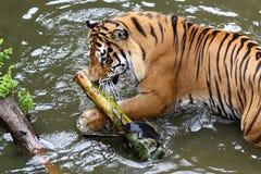 Juego del tigre en agua Fotografía de archivo