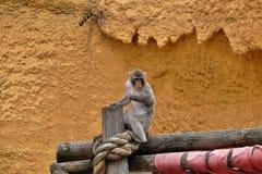 Juego japonés joven de los macaques con los pares Fotografía de archivo libre de regalías