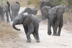 Juego joven del elefante en un camino con la alimentación de la familia cerca Foto de archivo libre de regalías
