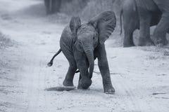 Juego joven del elefante en un camino mientras que convers artísticos de la alimentación de la familia Imagen de archivo