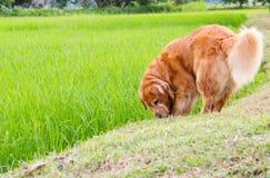 Juego lindo del perro en un campo de maíz verde Imagen de archivo