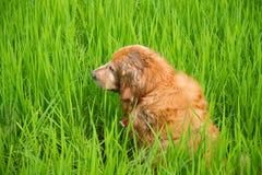 Juego lindo del perro en un campo de maíz verde Foto de archivo